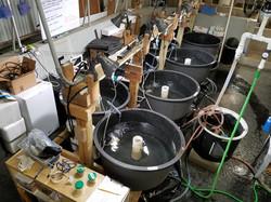 River herring experimental tanks