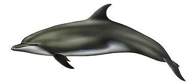 palackorrú_delfin.jpg