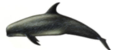 Risso delfin.jpg