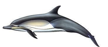 közönséges delfin.jpg
