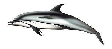 csíkos delfin.jpg