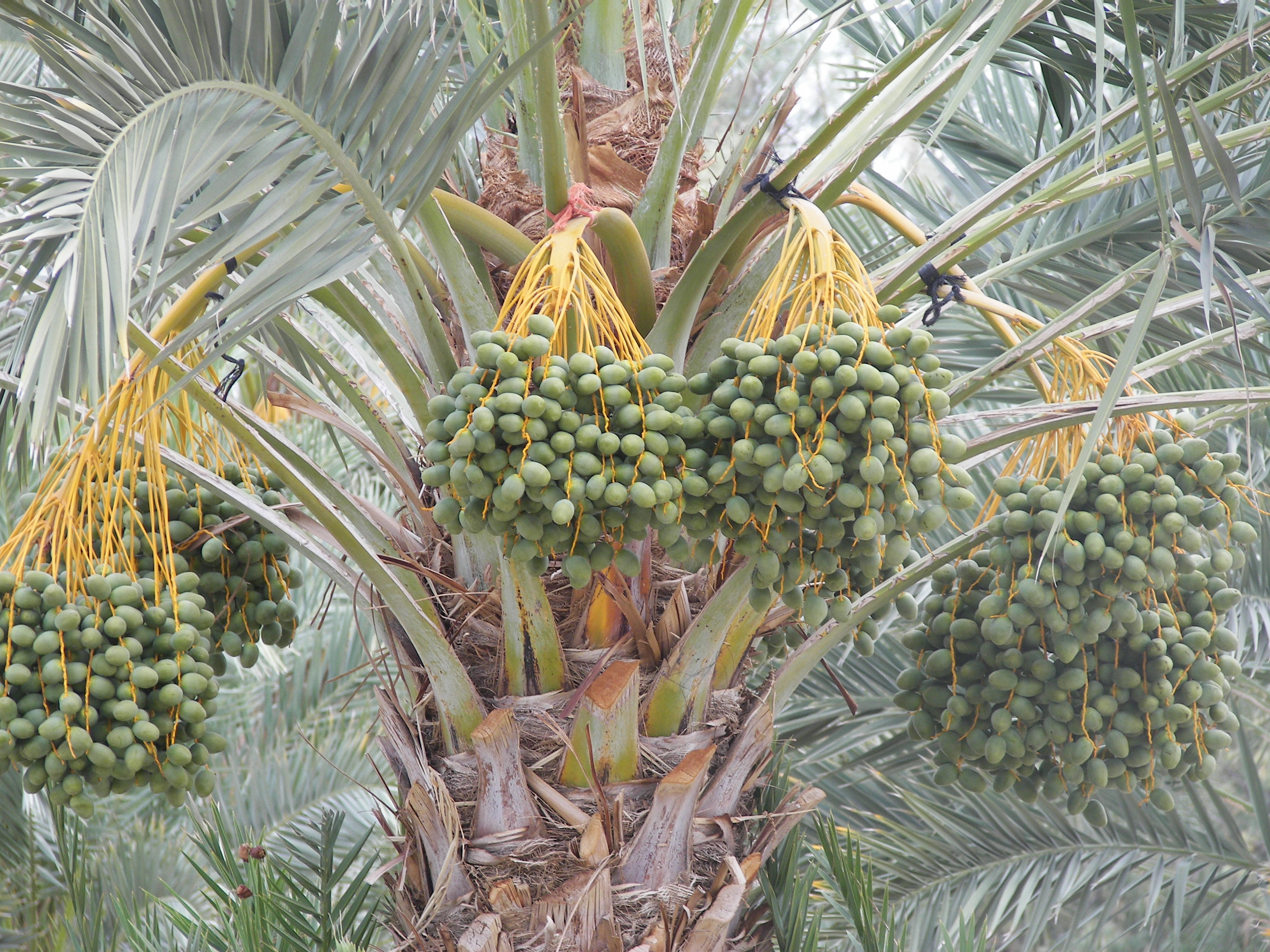 date palm photos (7).JPG
