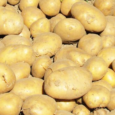 Le patate bio di Orto Corto
