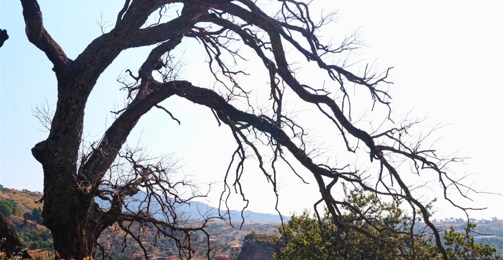Gioiosa Jonica - albero nero