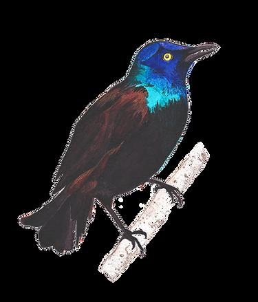 Blackbird_edited_edited.png