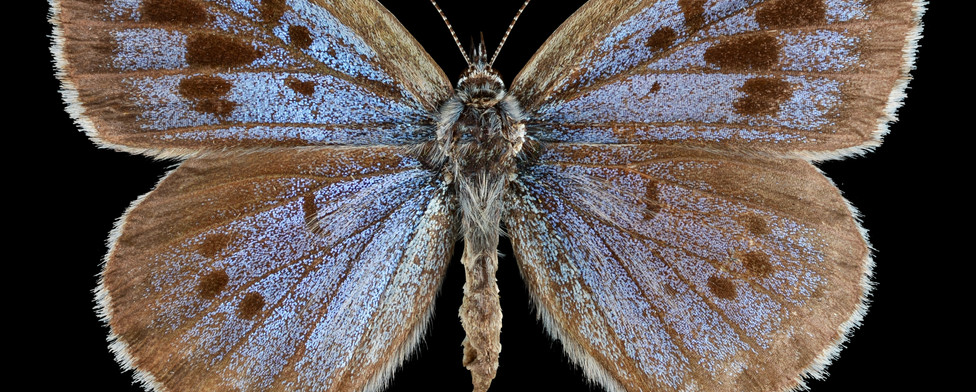 Maculinea arion - large blue.