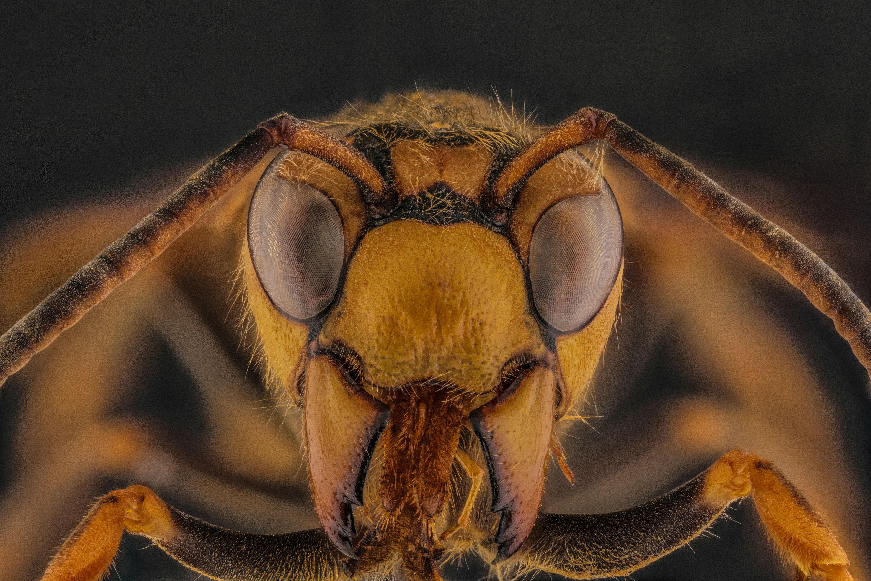 Japanese Wasp.