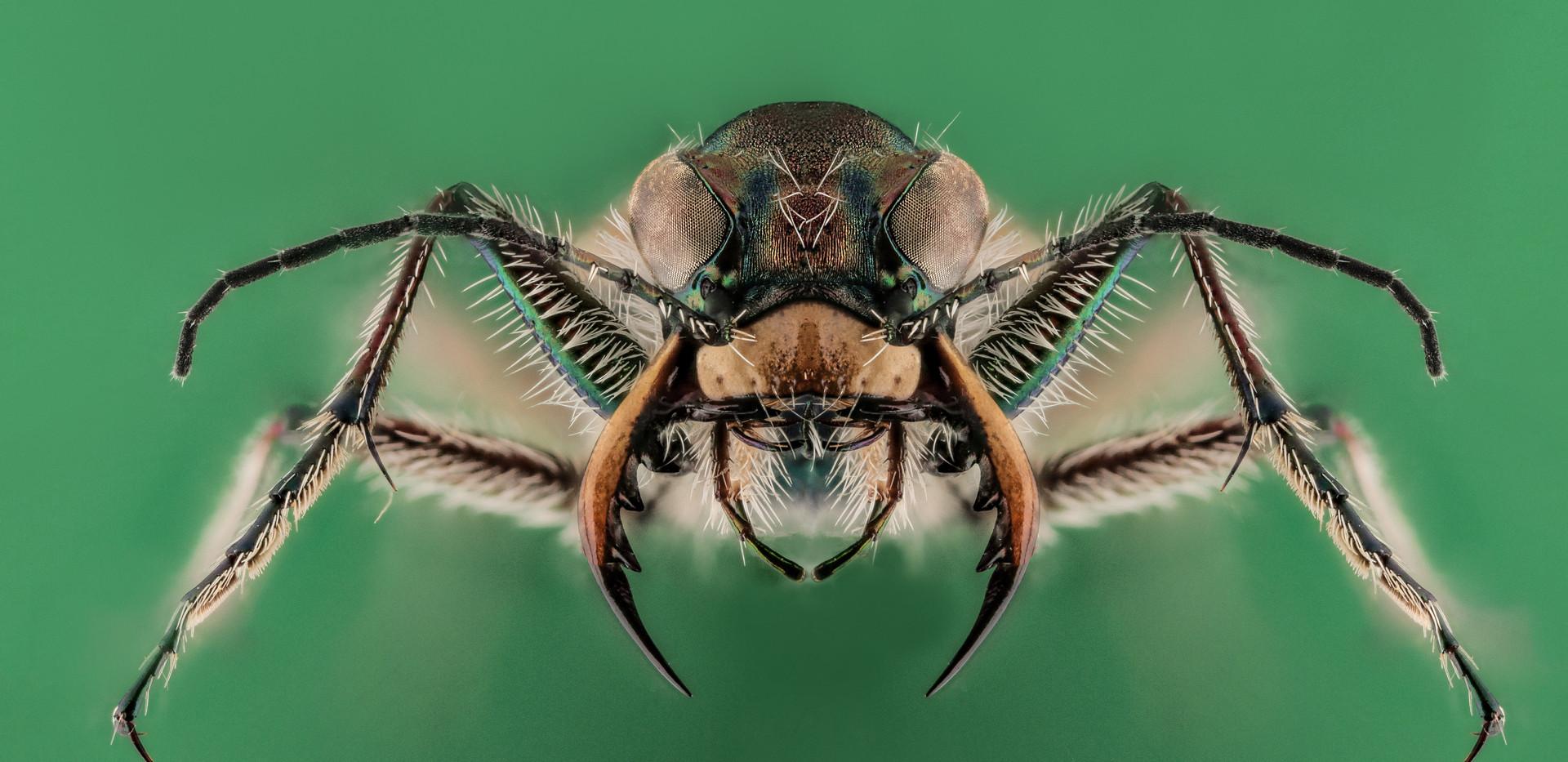 Cicindela hybrida-