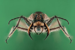 Cicindela hybrida