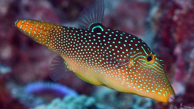 Orange Tail or Fiji Puffer