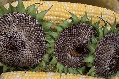 Roasting Sunflower Head