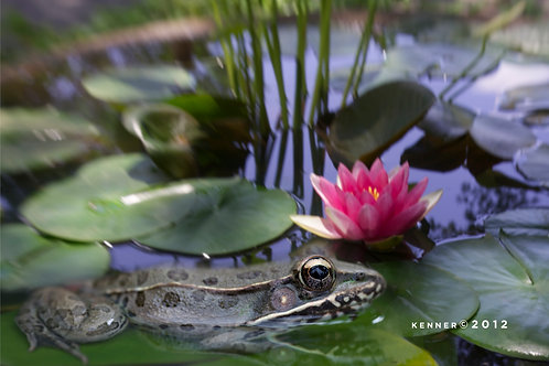Frog in Pond with Lily