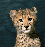 Jack Kenner Chetah cub in Africa