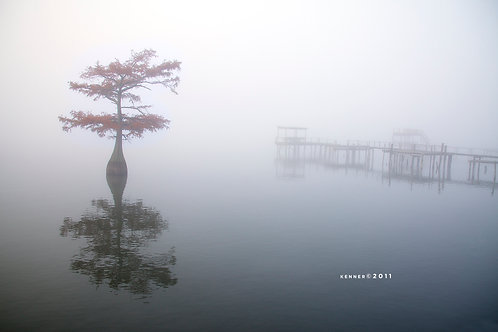 Cypress Tree in Fog