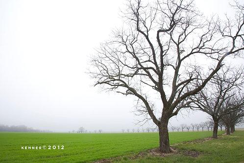 Walnut Trees #2