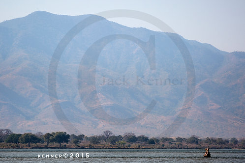 Hippopotamus in Zambezi River