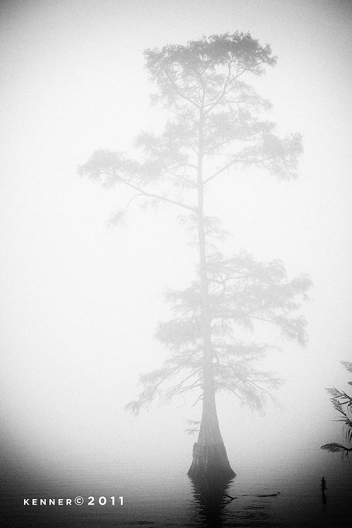 Cypress in Fog