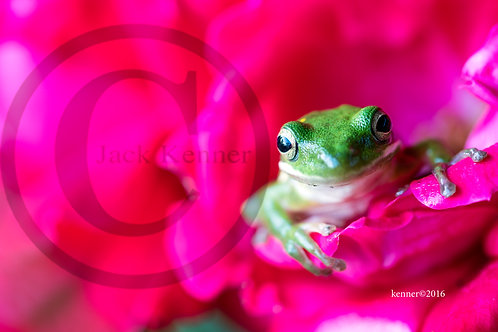 Frog in the Rose