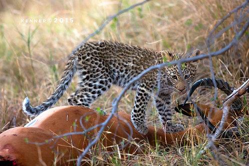Leopard Cub on Impala