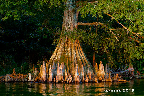 Cypress Knees in Sunset