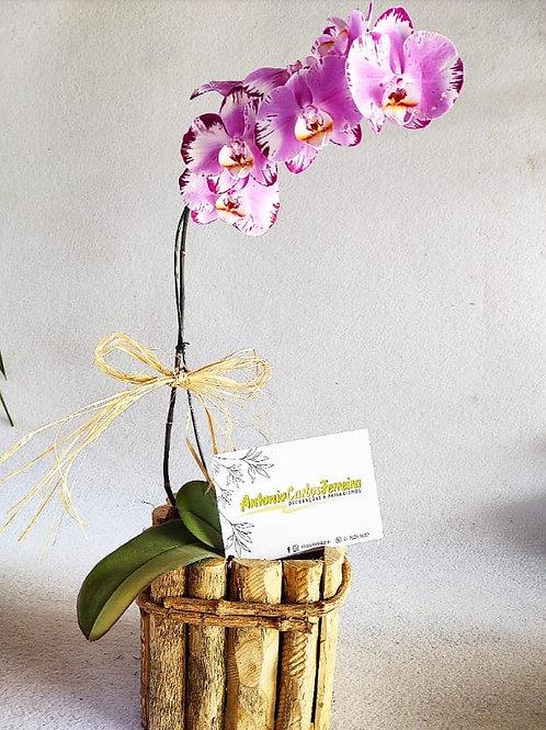 Orquidea G phalaenopsis rosa ou branca no cachepot de madeira