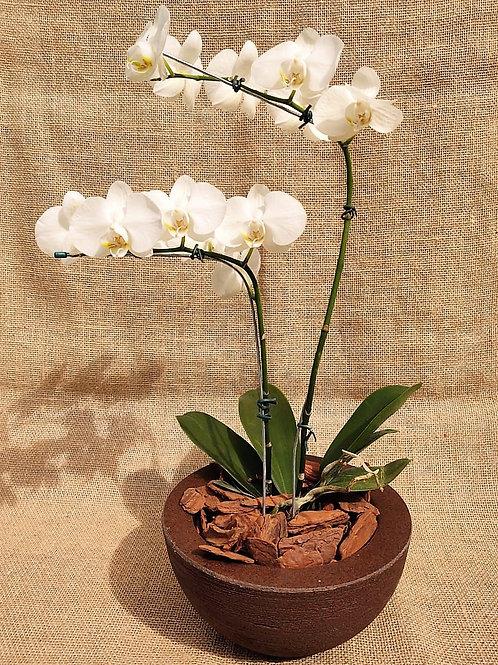 Orquidea G Phalaenopsis branca no vaso marrom