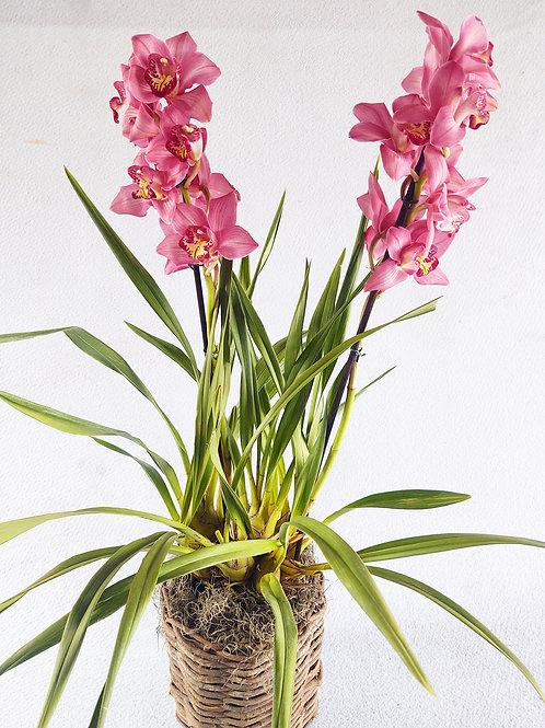 Orquídea G cymbidium