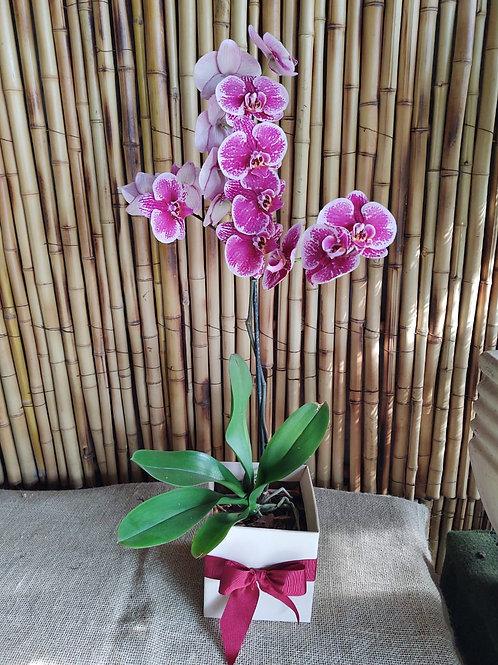 Orquidea G Phalaenopsis no cachepot com laço