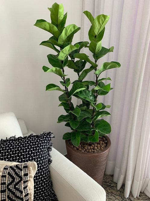 Ficus Lyrata G
