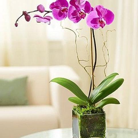 Orquídea G phalaenopsis rosa grande / lilás no aquario de vidro