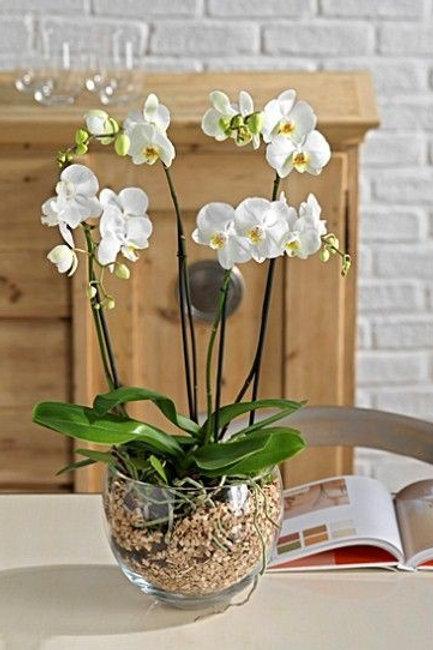 Arranjo G de orquídea phalaenopsis G branca com 4 hastes + aquário de vidro