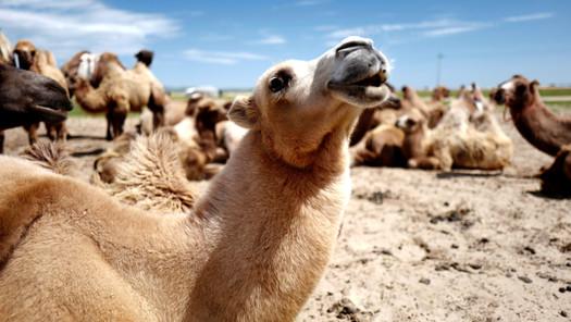 HF_Camel Sings_edited.jpg