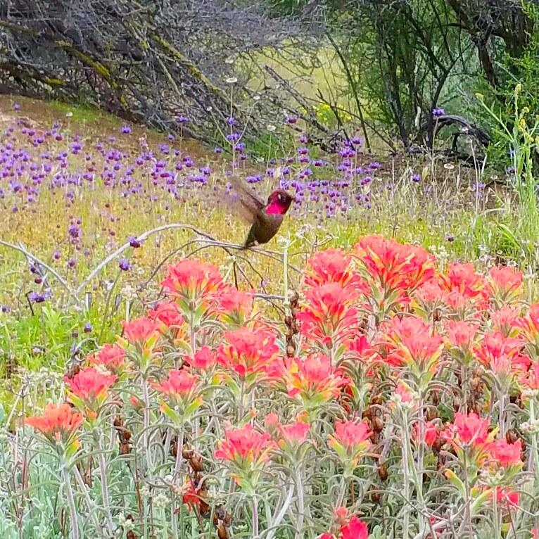 canyon bird