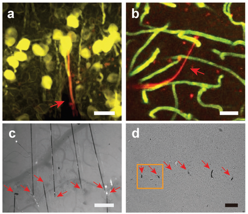 ultra-fine, sub-cellular-sized NET and its tissue integration