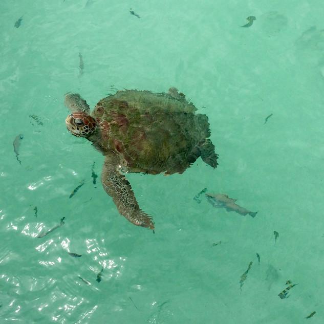 Turtle in open water