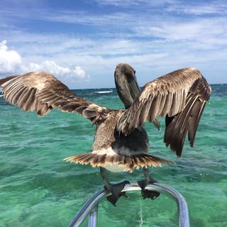Mister pelicano