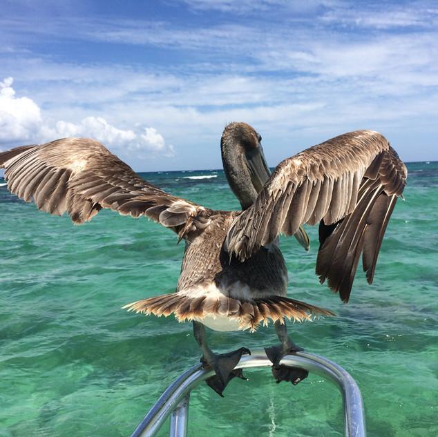 Don pelicano