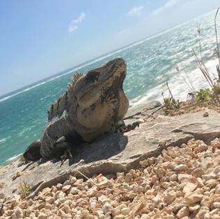 Lazy iguana