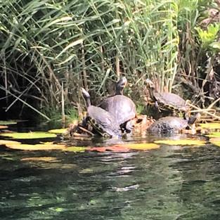 wild turtles