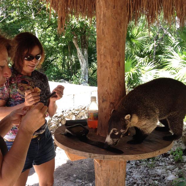 Feeding old coati