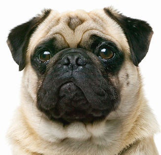 Wrinkles and sagging skin on a pug dog's face.