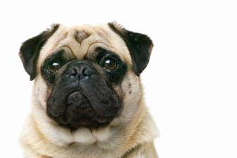 Pug Closeup