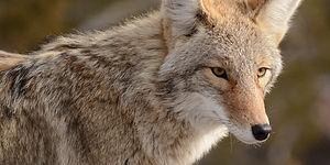 Coyote Eye.jpg