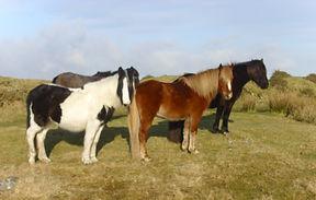 Bodmin Moor horses.jpg