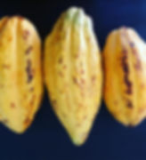 Yellow Cacao Pods from Oaxaca