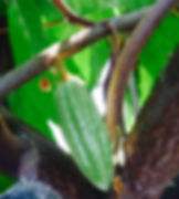 Green Baby Cacao Pod, Cacao Flowers