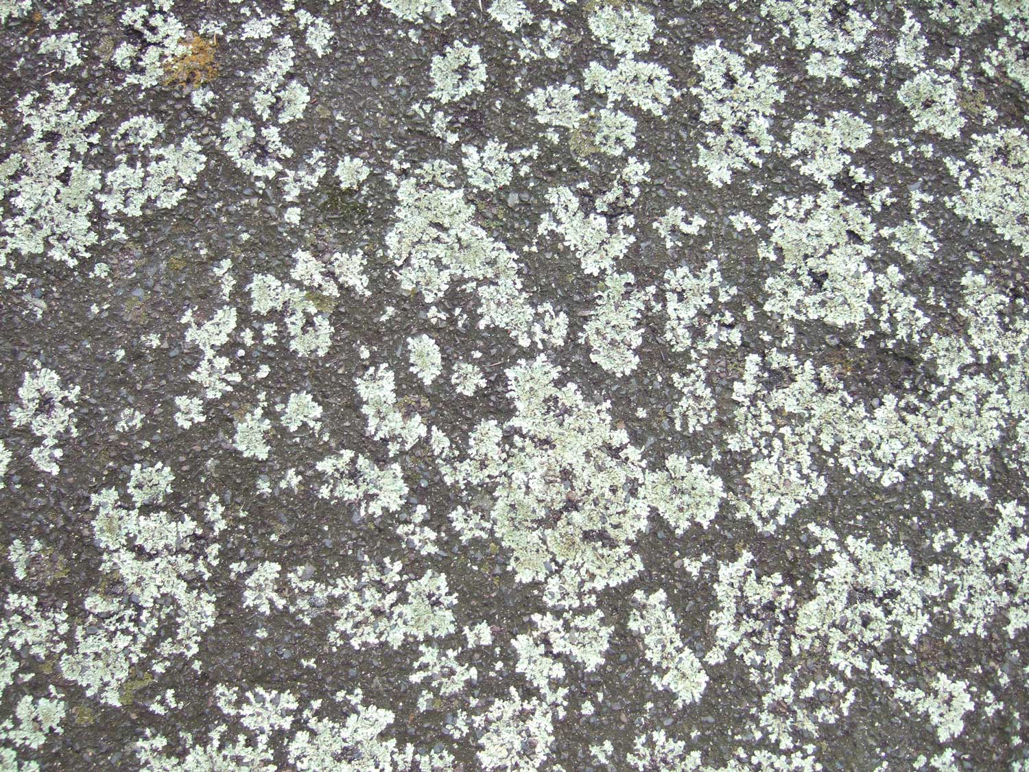 lichen-on-path