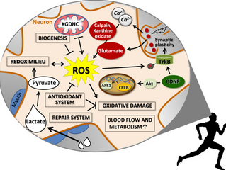 Exercise and reactive oxygen species – a complicated relationship