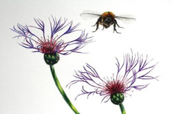 carder bee and knapweed resized.jpg