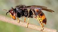 asian hornet pic.jpg